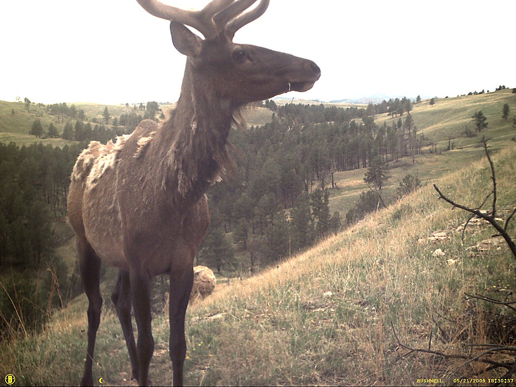 Elk captured by a trail camera, Wind Cave National Park, South Dakota, May 2009.