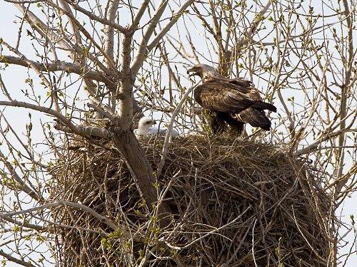 South Dakota Golden Eagles, click for larger version.