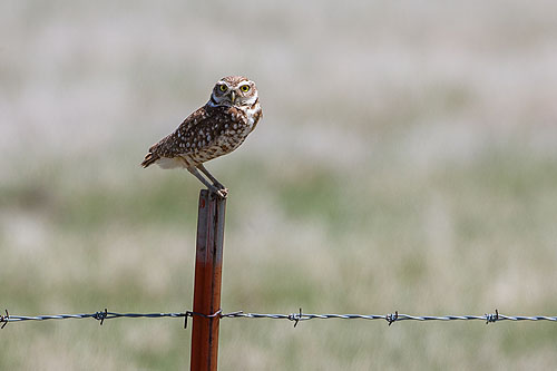 South Dakota Burrowing Owls, click for larger version.