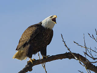 Eagle vocalizing
