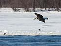 Bald eagle gliding over the Mississippi River, Keokuk, Iowa, January 2009.
