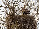 Golden eagles in nest near Quinn, South Dakota, May 2009.