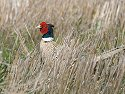 South Dakota pheasant, May 2009.