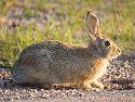 A huge South Dakota jackrabbit, Custer State Park, May 2009.