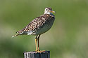 Upland Sandpiper, somewhere south of Pierre, May 2009.