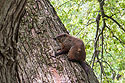 Woodchuck climbing a tree, Big Sioux Recreation Area, Brandon, May 2009.