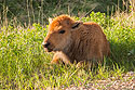 Bison calf, Custer State Park, South Dakota, May 2009.