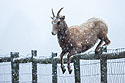 Rocky Mountain Bighorn ewe leaps 4-foot fence, Custer State Park, Dec. 5, 2009.