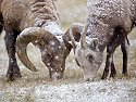 Rocky Mountain Bighorn ram and ewe, Custer State Park, Dec. 5, 2009.