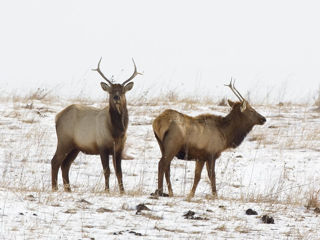 Two young bull elk, Neal Smith NWR, IA, Feb. 6, 2010.  Click for next photo.