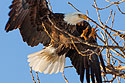 Bald eagle comes in for a landing, Keokuk, IA, Feb. 6, 2010.