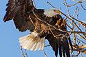 Keokuk eagle, 2010.