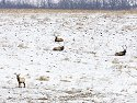 Bull elk resting, Neal Smith NWR, IA, Feb. 6, 2010.