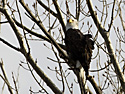 Bald Eagle at Squaw Creek NWR, northwest Missouri, December 2010.