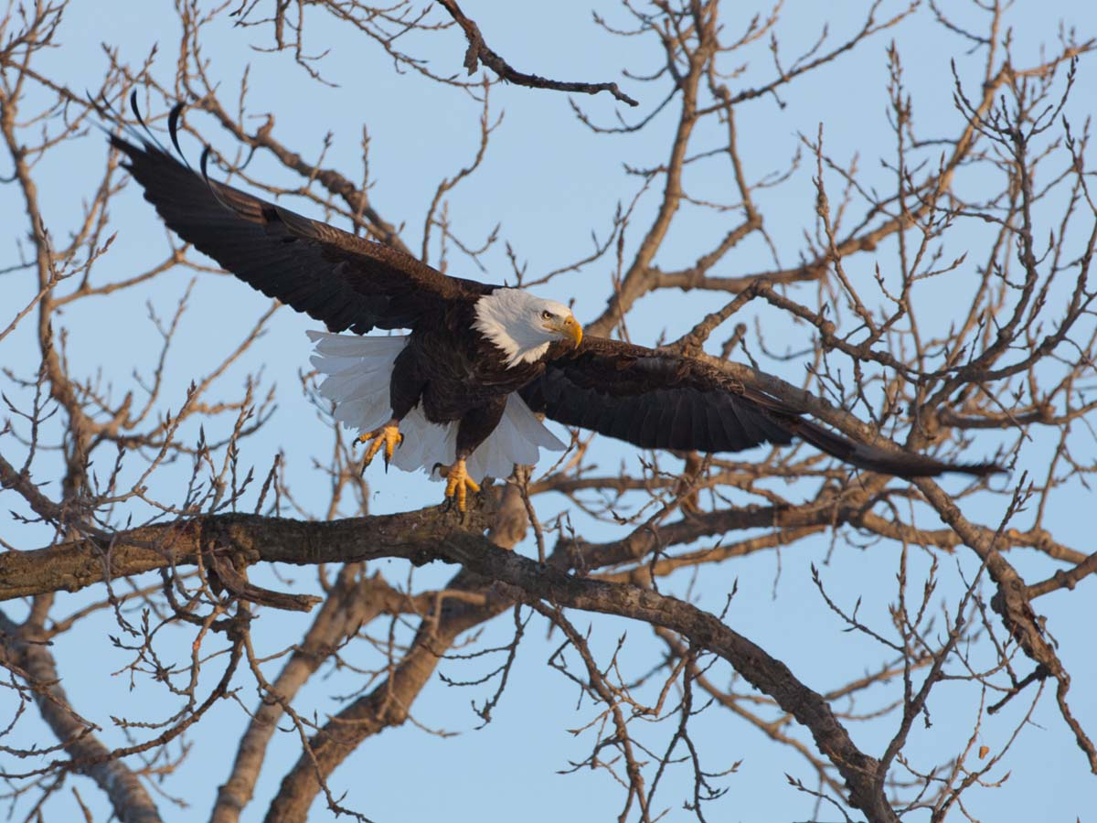 Bald Eagle, Keokuk, Iowa, February 2011.  Click for next photo.