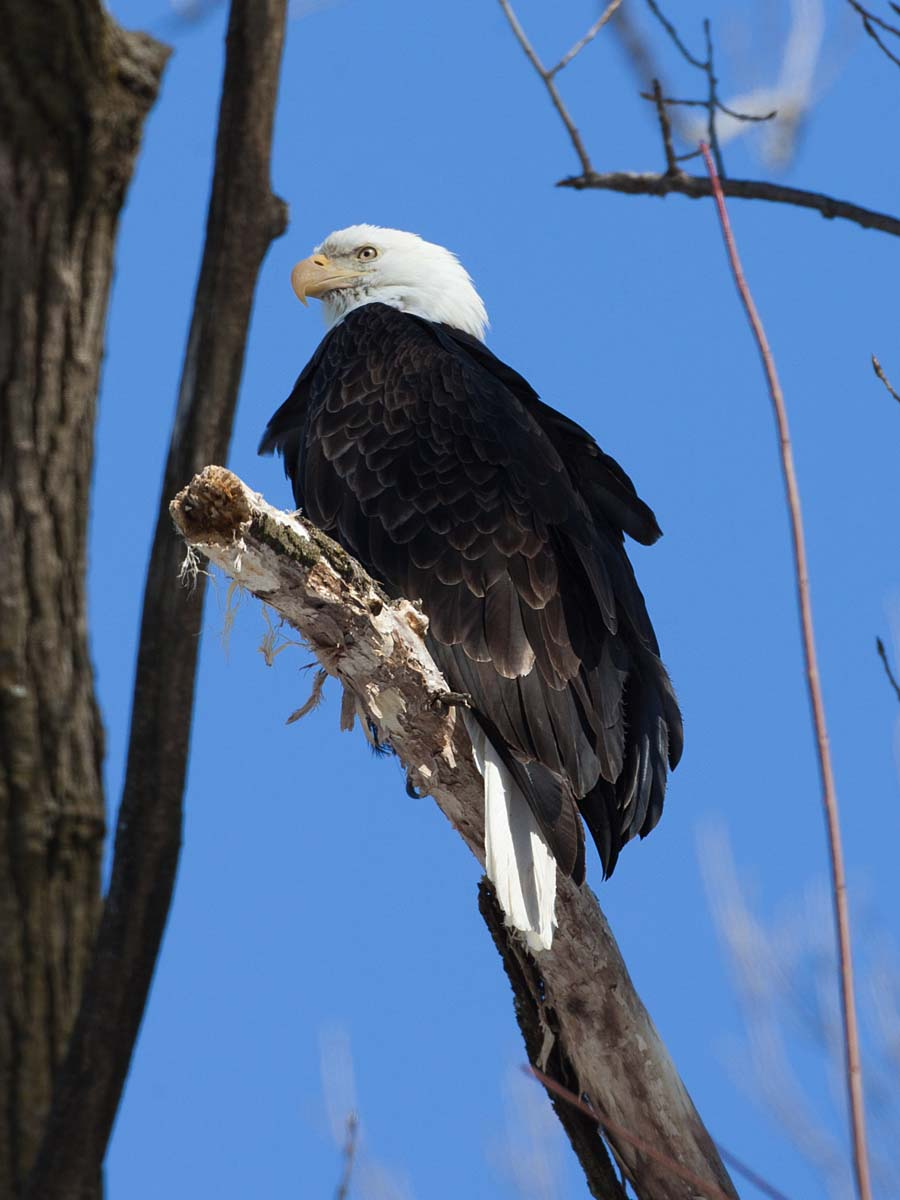 Bald Eagle, Lock & Dam 18, Gladstone, Illinois, February 2011.  Click for next photo.