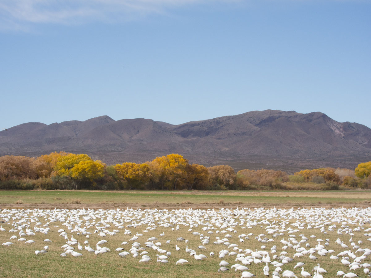 Snow geese, Bosque del Apache NWR, New Mexico, November 2011.  Click for next photo.