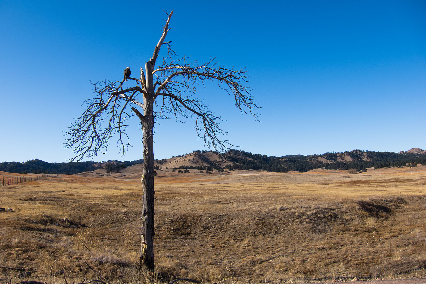 The eagle tree on Highway 87, Custer State Park.  Click for next photo.
