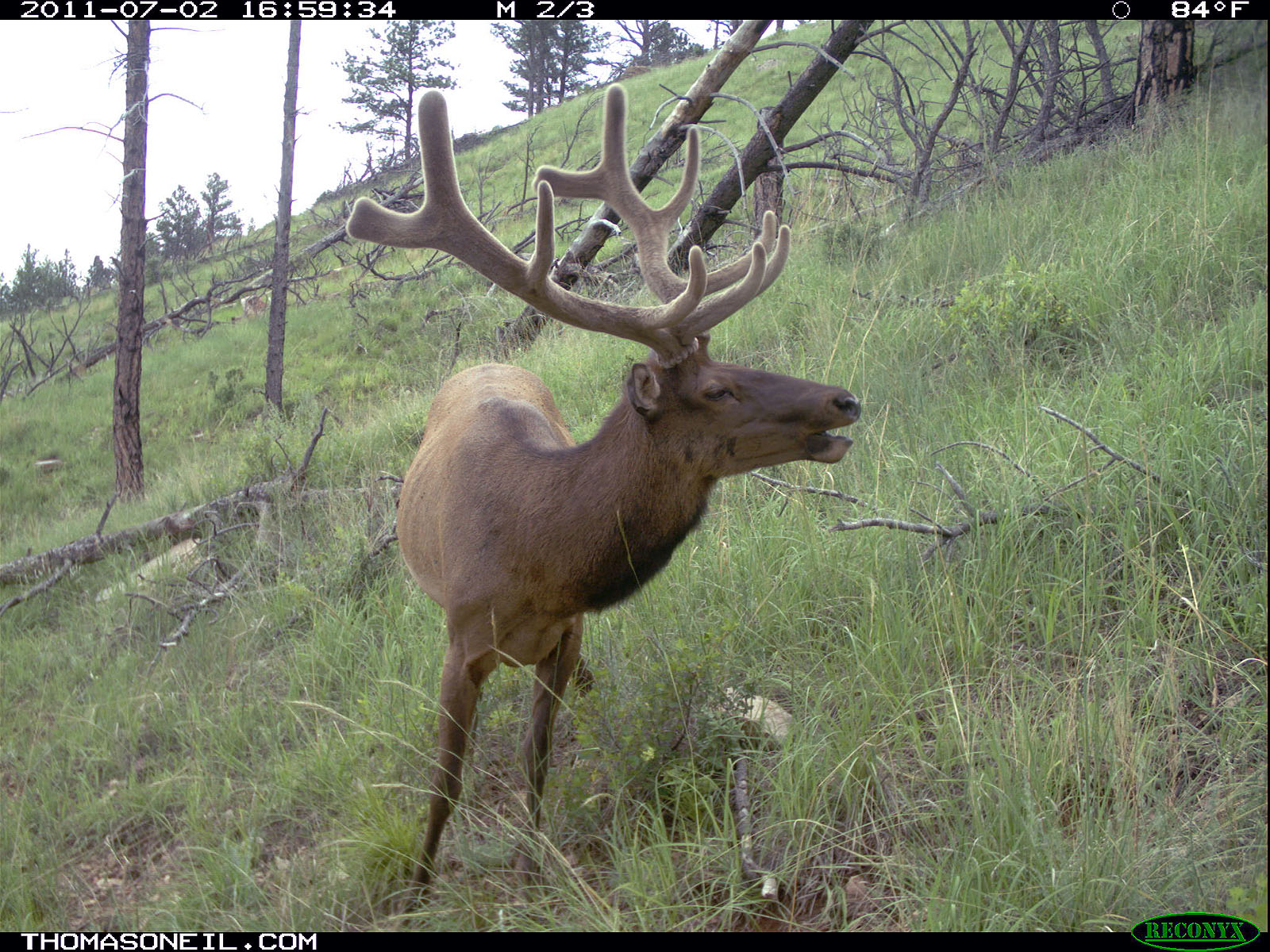 Elk on trail camera, Wind Cave National Park, South Dakota, July 2011.  Click for next photo.