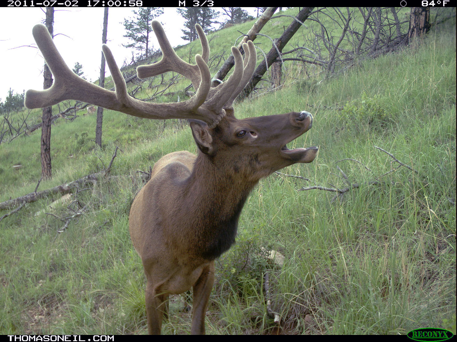 Elk on trail camera, Wind Cave National Park, July 2011.  Click for next photo.