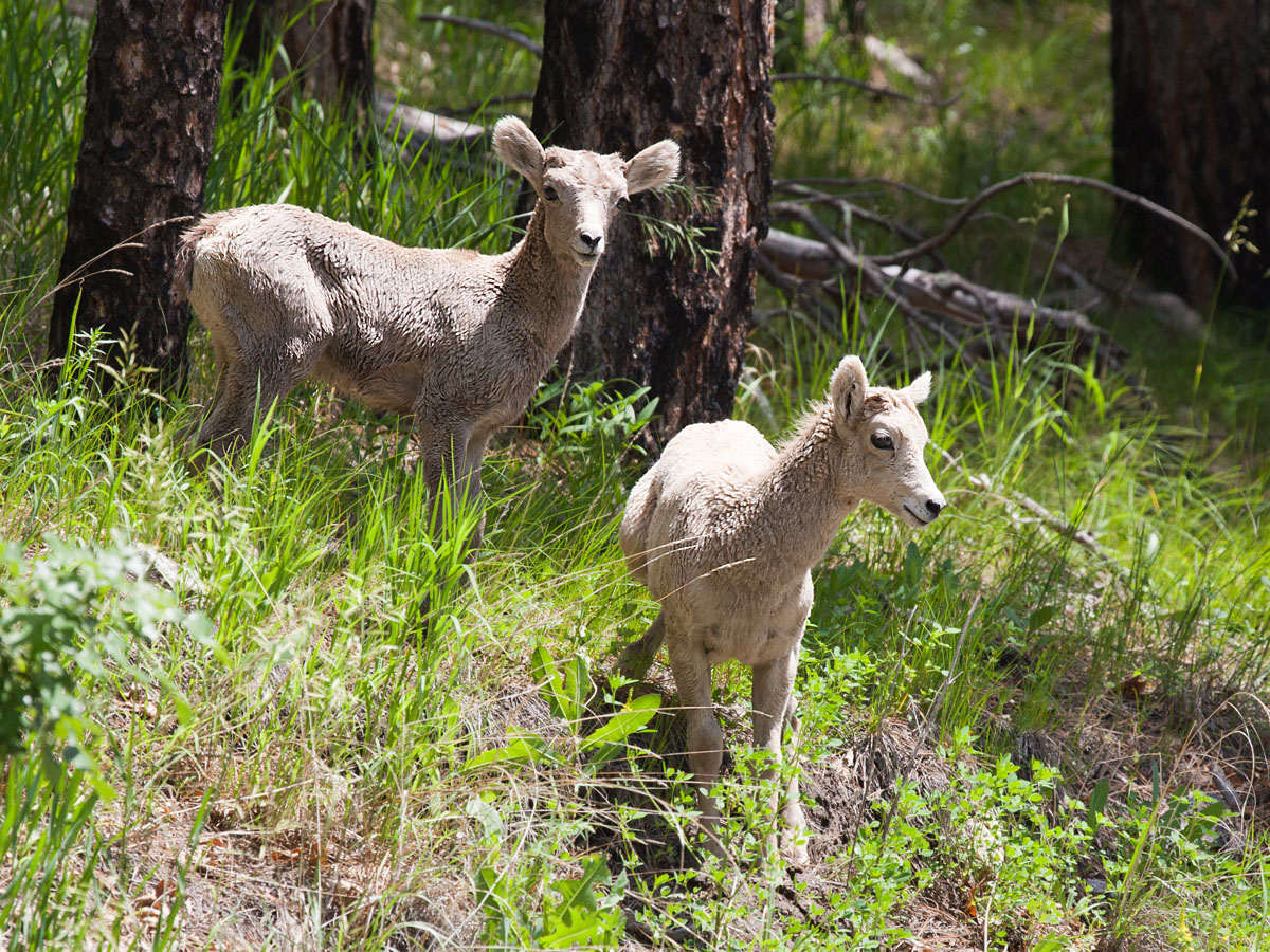 Bighorn lambs, Custer State Park, South Dakota, July 2011.  Click for next photo.