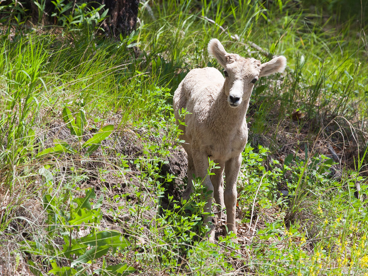 Bighorn lamb, Custer State Park, South Dakota, July 2011.  Click for next photo.