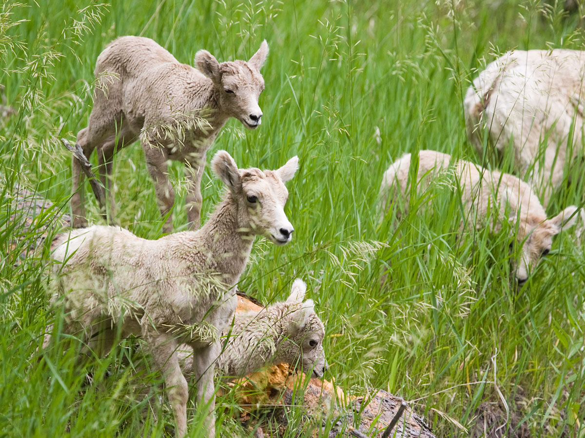 All four bighorn lambs, Custer State Park, South Dakota, July 2011.  Click for next photo.