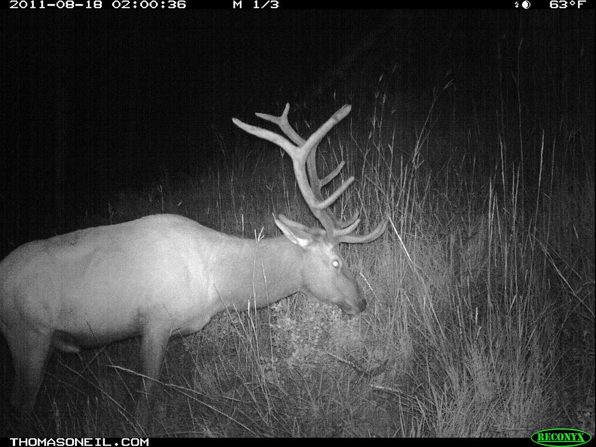 Elk on trail camera, Wind Cave National Park, South Dakota, August 2011.
