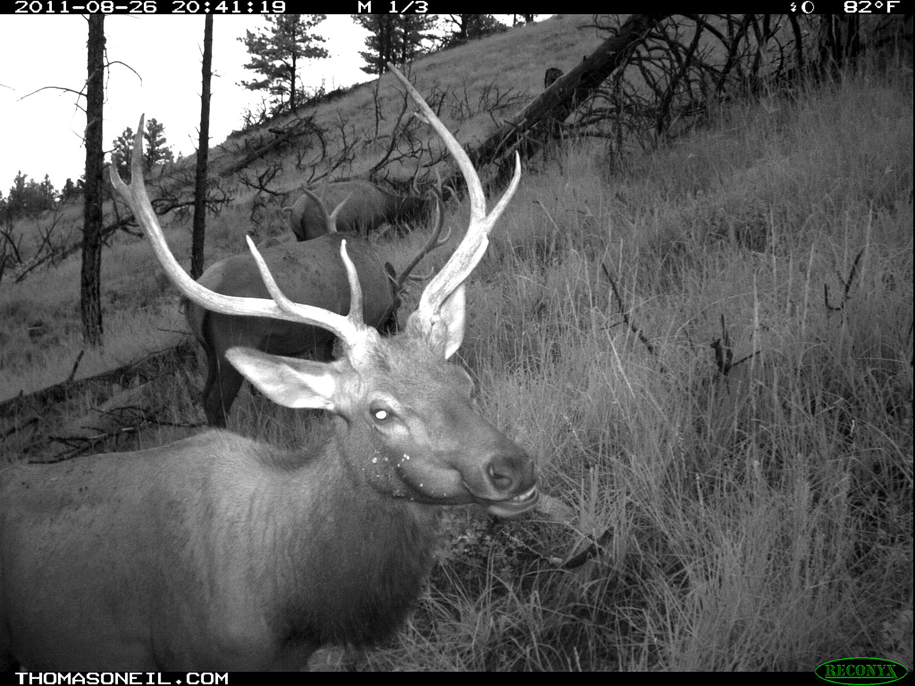 Elk on trail camera, Wind Cave National Park, South Dakota, August 2011.  Click for next photo.