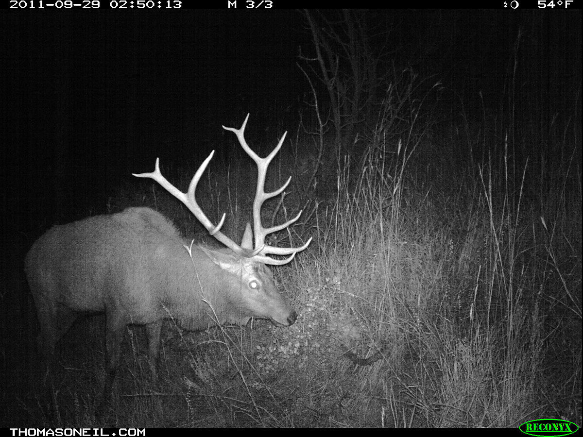Elk on trail camera, Wind Cave National Park, South Dakota, September 2011.