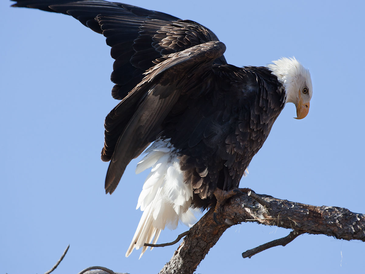 Bald eagle, Custer State Park.  Click for next photo.