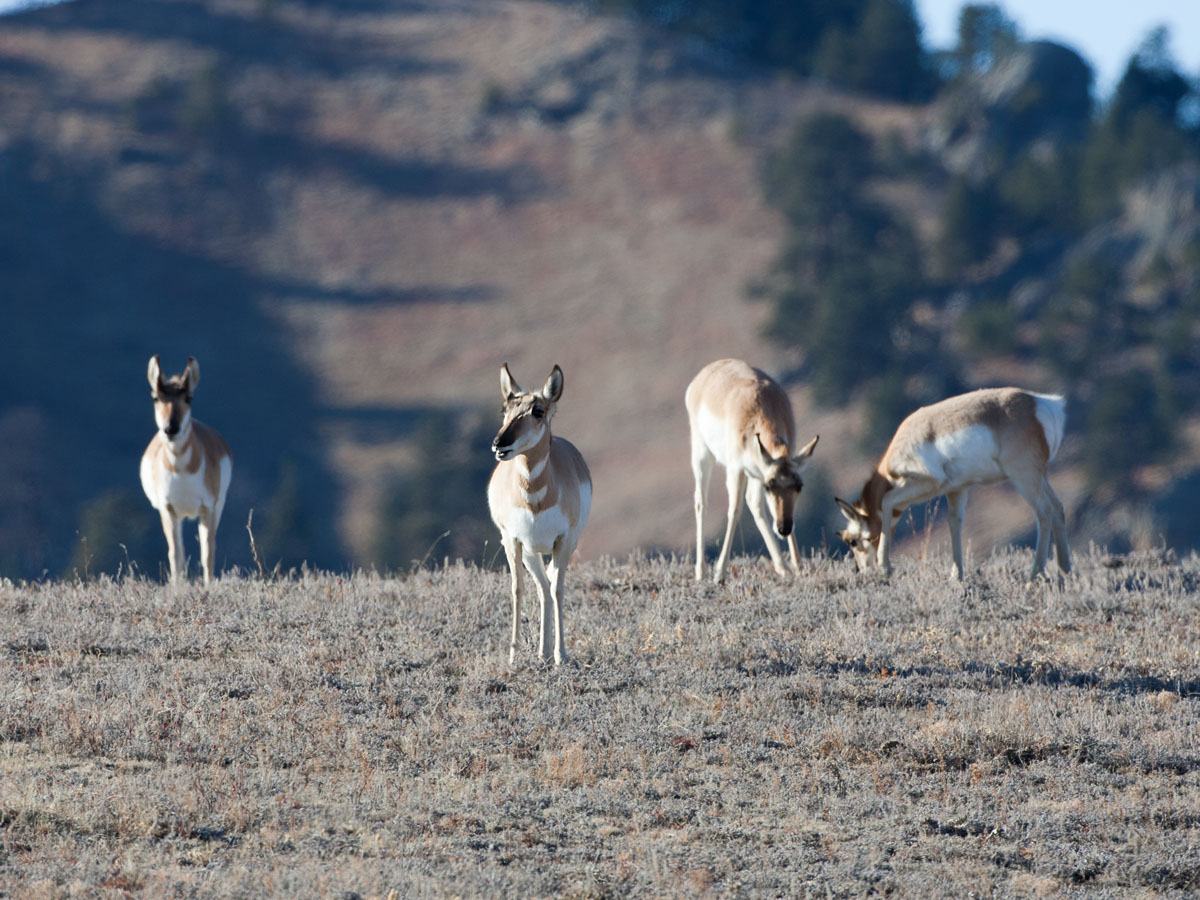 Pronghorns, Custer State Park.  Click for next photo.