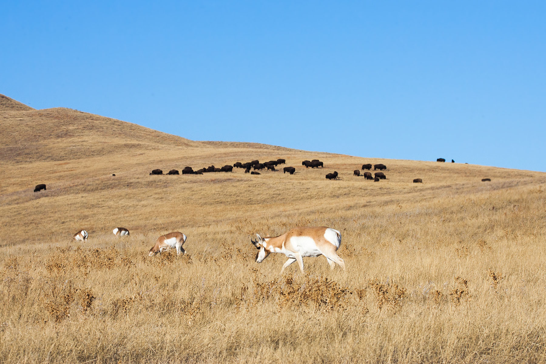 Pronghorns and bison, Custer State Park.  Click for next photo.