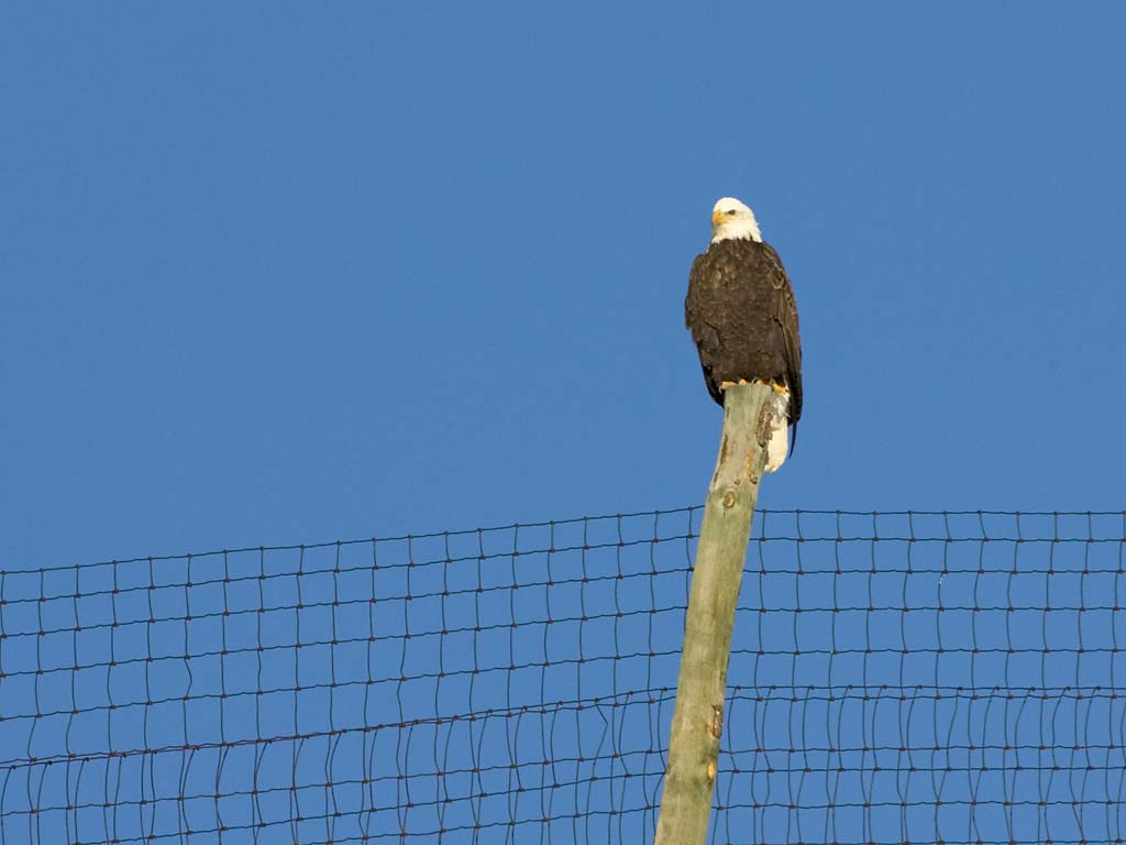 Bald Eagle, Custer State Park, SD, January 2011.  Click for next photo.
