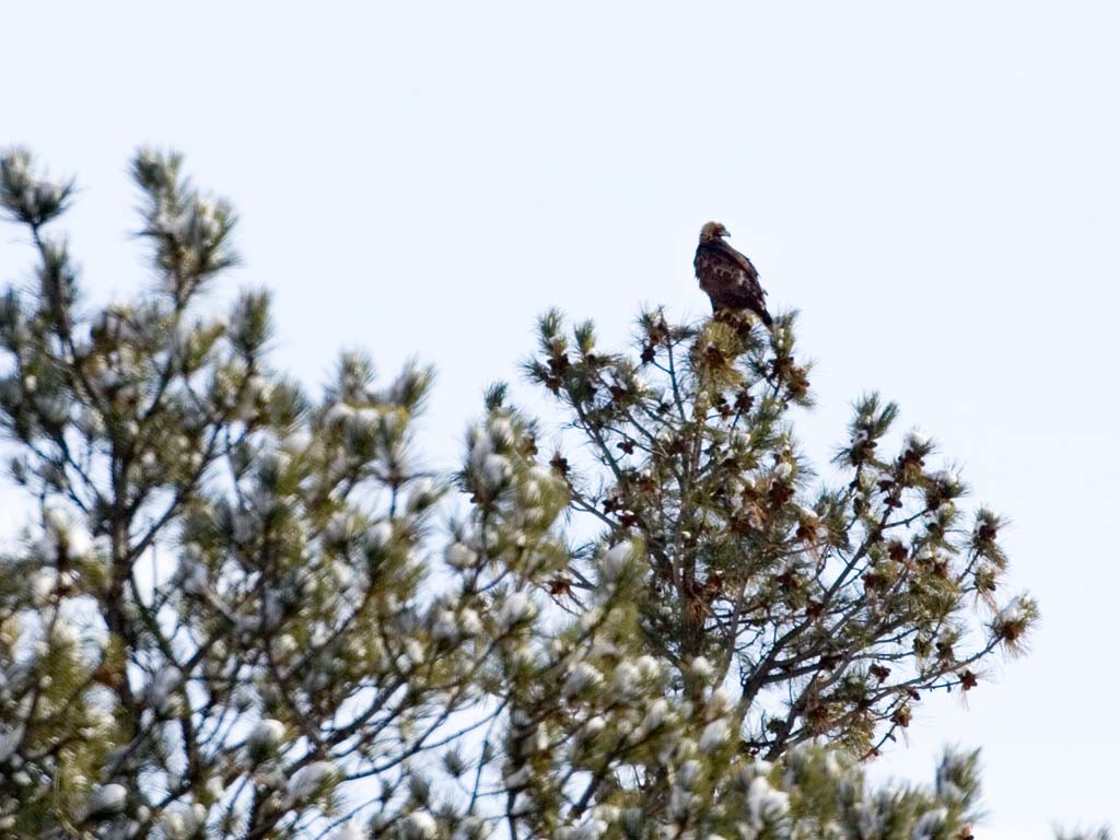 Distant shot of a golden eagle, Custer State Park, SD, January 2011.  Click for next photo.