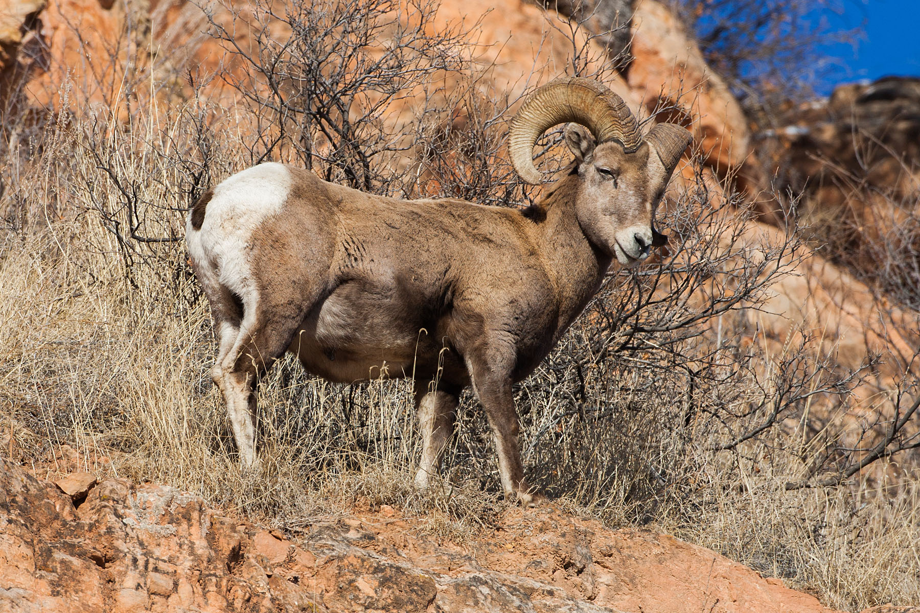Bighorn sheep, Cleghorn Canyon, Rapid City, SD, January 2011.  Click for next photo.