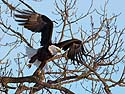 Bald Eagle, Keokuk, Iowa, February 2011.