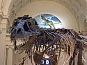 "South Dakota Tyrannosaurus Rex ""Sue"" on display at the Field Museum, Chicago, September 2011."