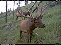 Elk on trail camera, Wind Cave National Park, South Dakota, July 2011.