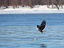 Bald Eagle over the Mississippi River, below Lock & Dam 18, Gladstone, Illinois, February 2011.