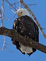 Bald Eagle, Lock & Dam 18, Gladstone, Illinois, February 2011.
