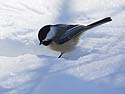 Chickadee found something of interest in the snow, Lock & Dam 18, Gladstone, Illinois, February 2011.