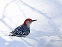 Red-bellied woodpecker, Lock & Dam 18, Gladstone, Illinois, February 2011.