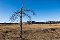 Eagle tree on Highway 87, Custer State Park, December 2011.  The tree has since been blasted by lightning and I haven´t see eagles in the area recently.