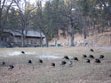 Just part of a huge flock of turkeys near the visitor center, Custer State Park.