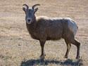 Lone bighorn ewe, Custer State Park.