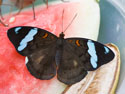 Butterfly, Sertoma Butterfly House, Sioux Falls, SD, April 2011.