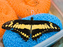 Butterfly on a sponge, Sertoma Butterfly House, Sioux Falls, SD, April 2011.