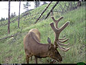 Elk on trail camera, Wind Cave National Park, South Dakota, July 2011.