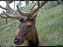 Elk on trail camera, Wind Cave National Park, July 2011.